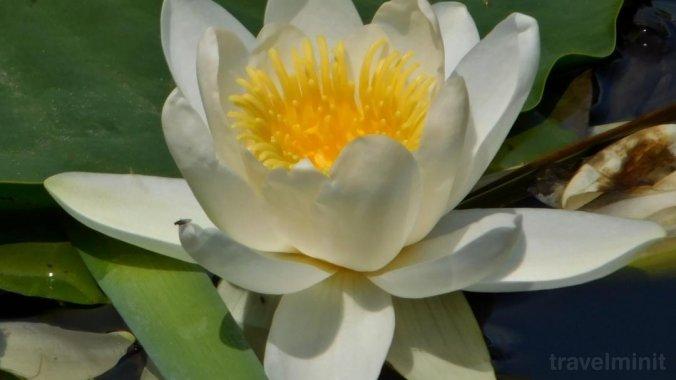 Floarea dintre ape Panzió Crișan